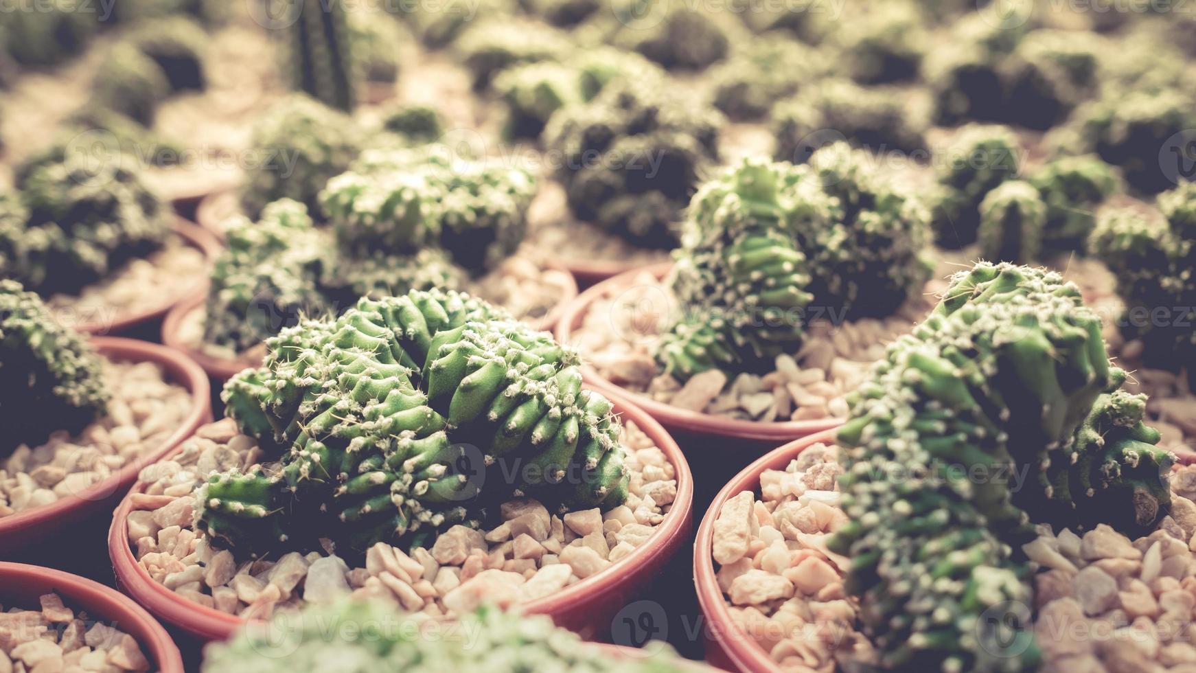samling av kaktusfamiljen. foto