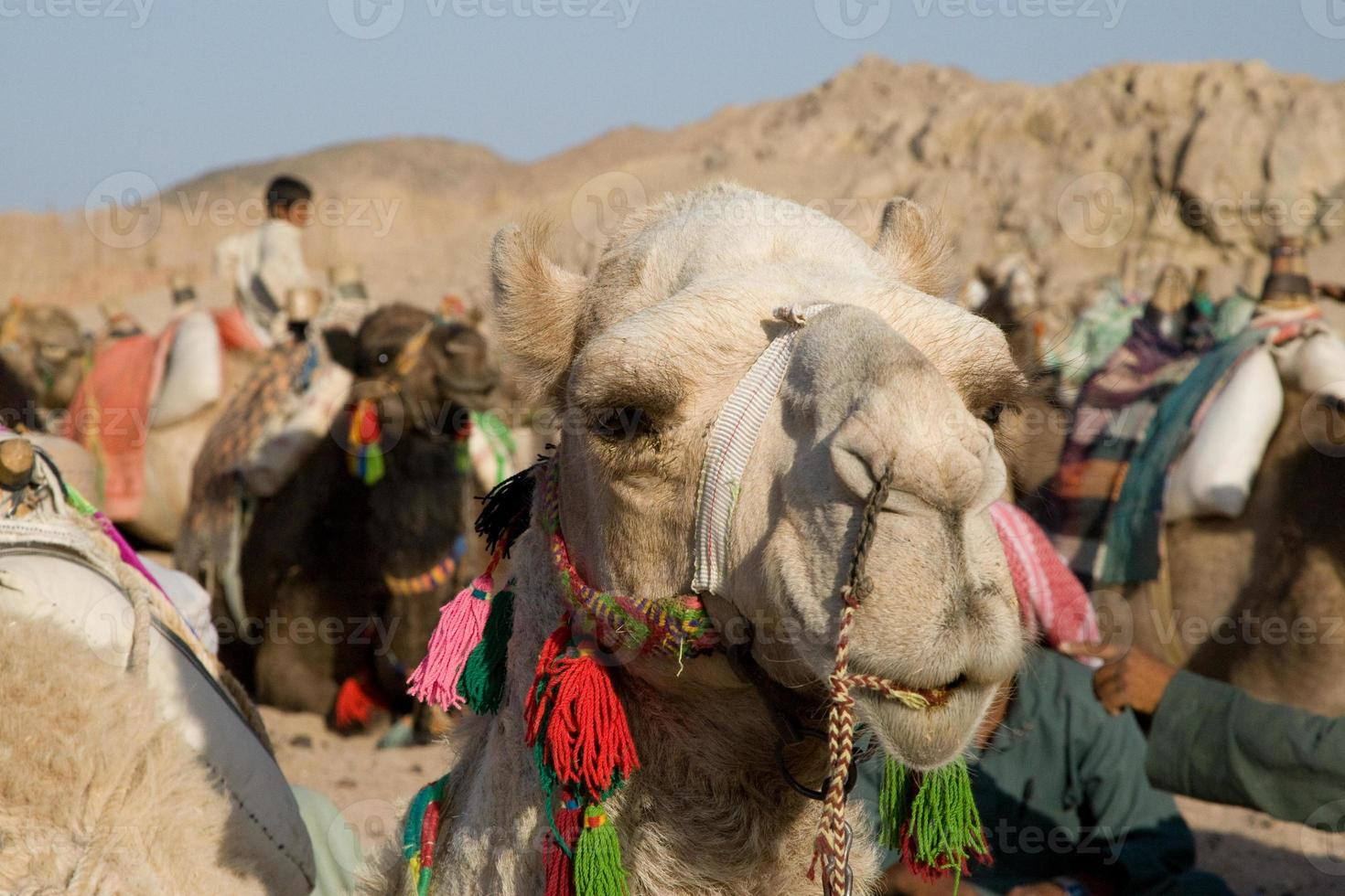 kamel porträtt foto