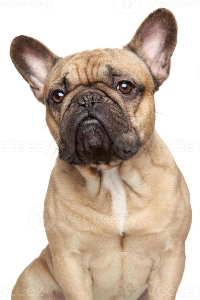 fransk bulldog porträtt foto