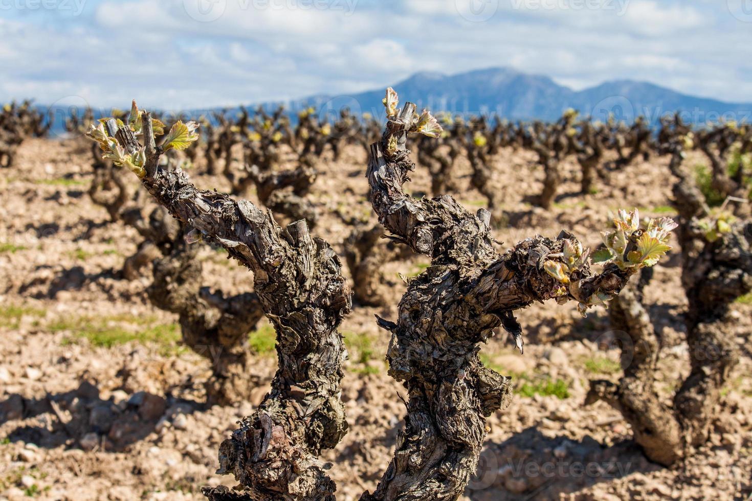 vingård på nära håll foto