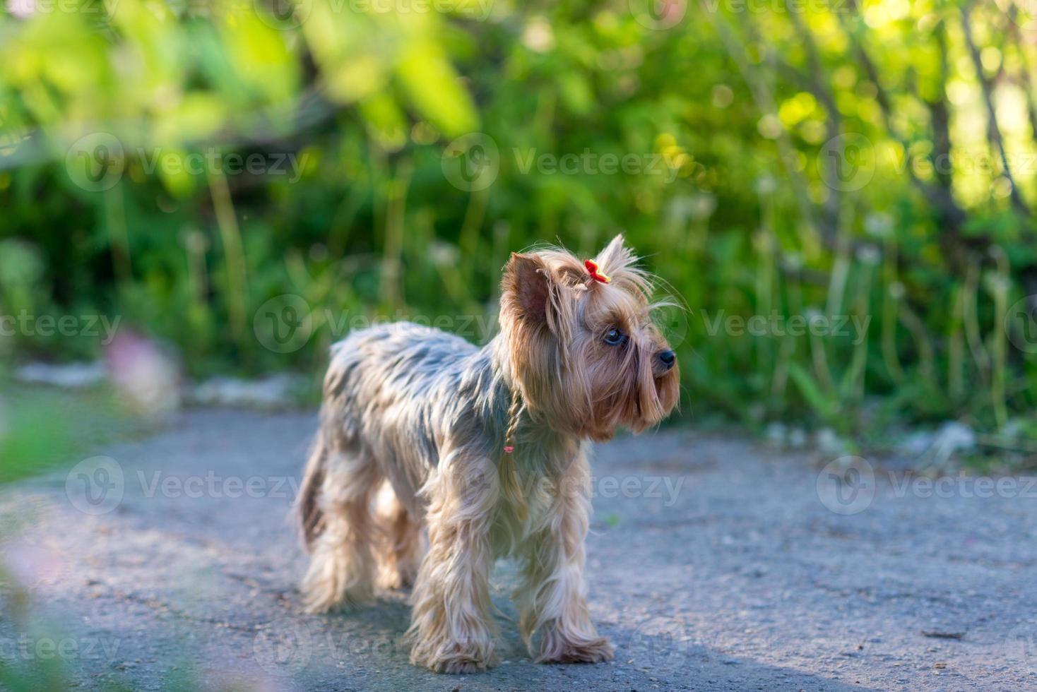 yorkshire terrier porträtt foto