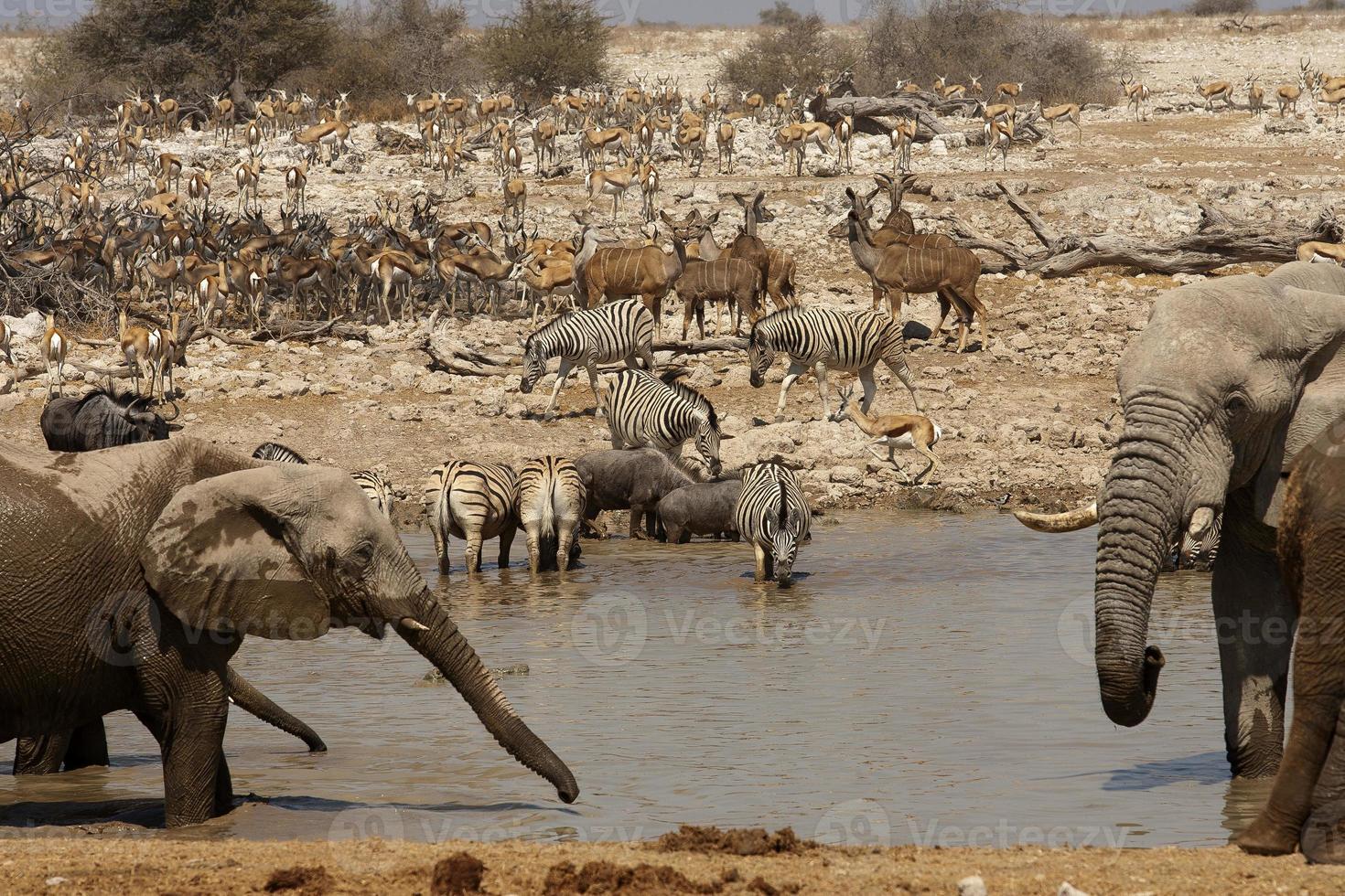 okaukuejo vattenhål, etosha nationalpark, namibia foto