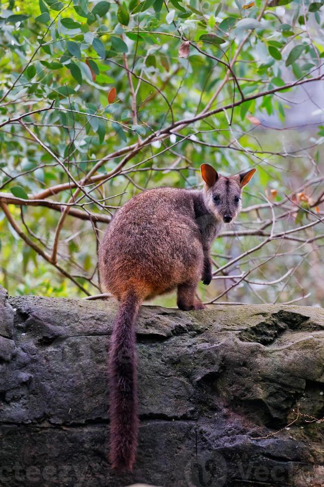 borste-tailed rock wallaby foto