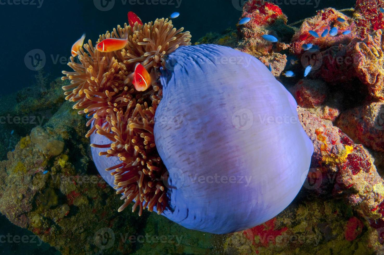 havs Anemon foto