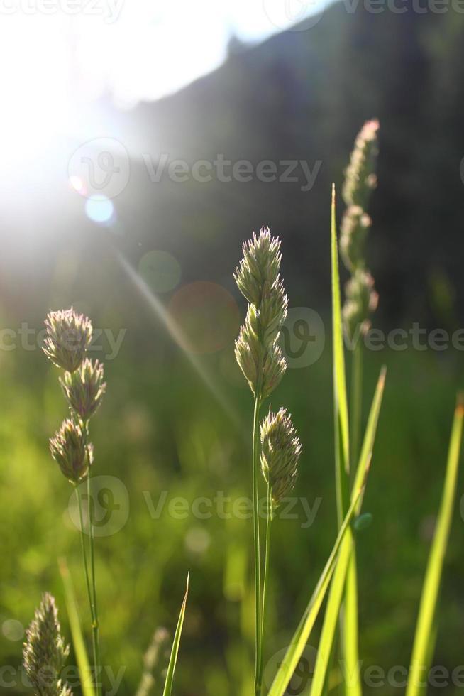 högt vildt gräs i bergen foto
