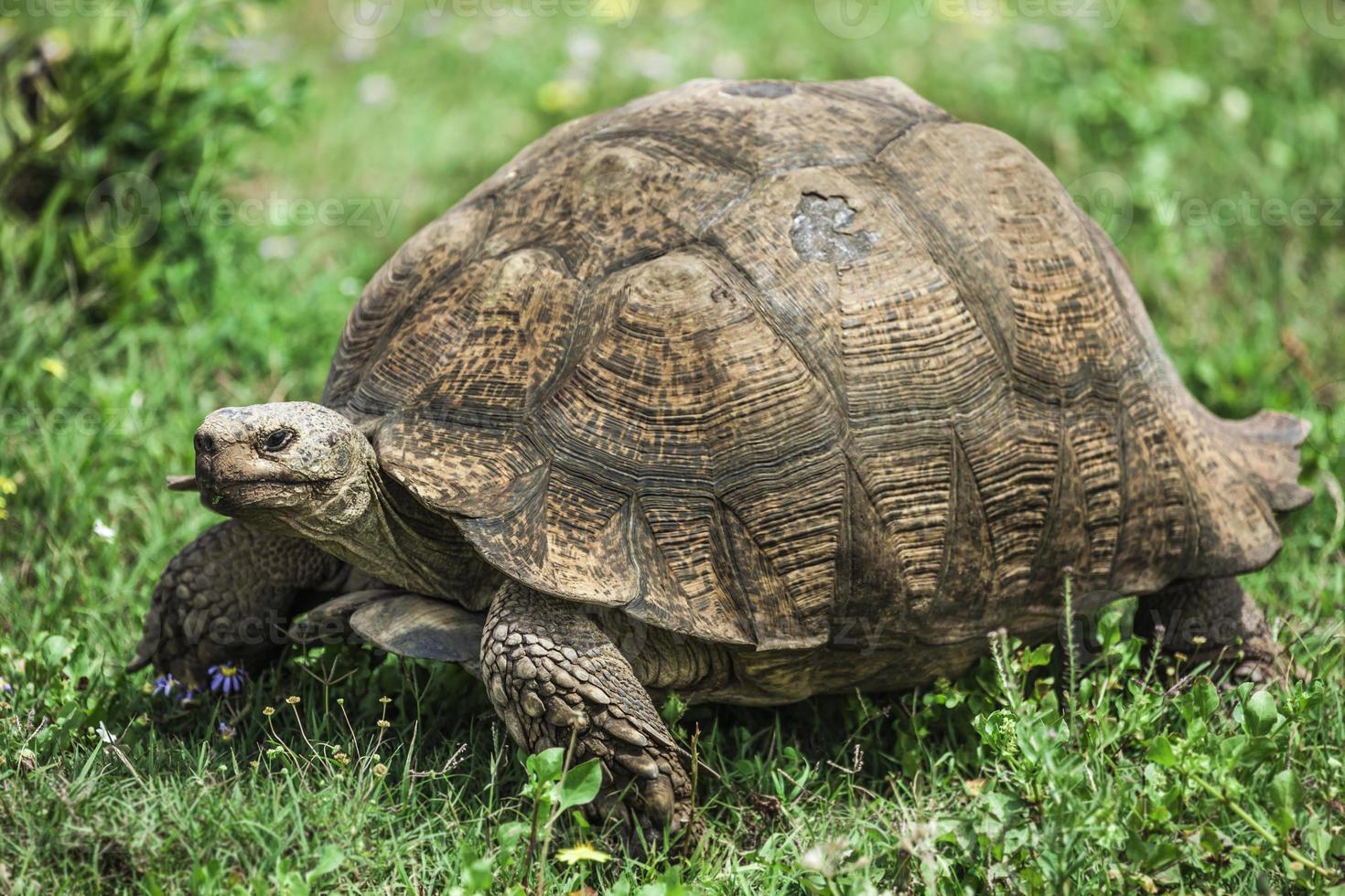 leopardsköldpadda. foto