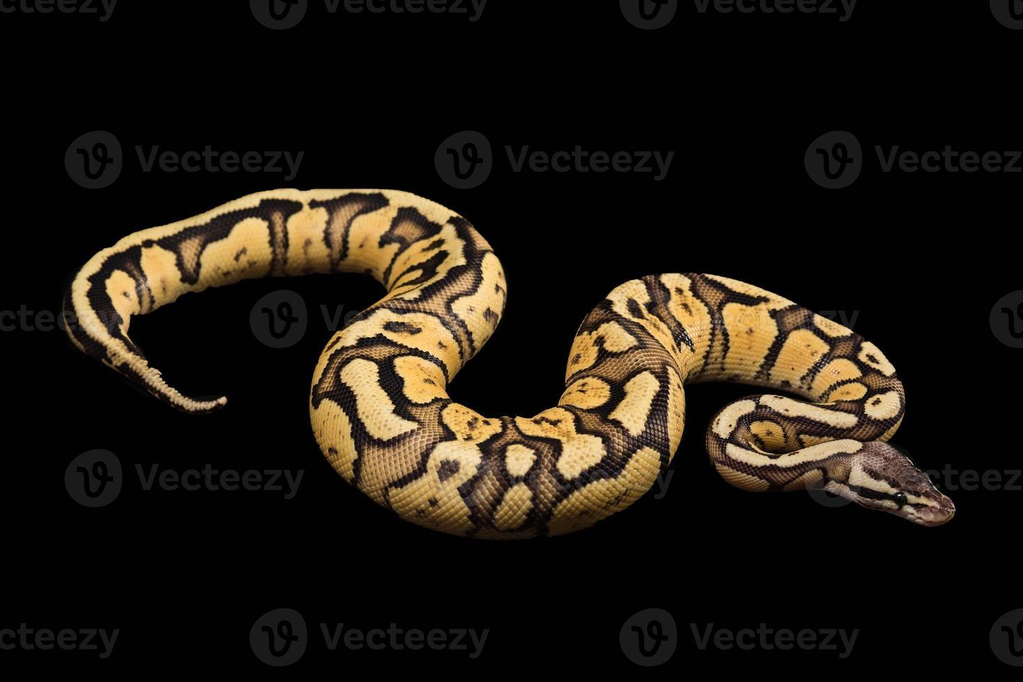 kvinnlig bollpython. firefly morph eller mutation foto