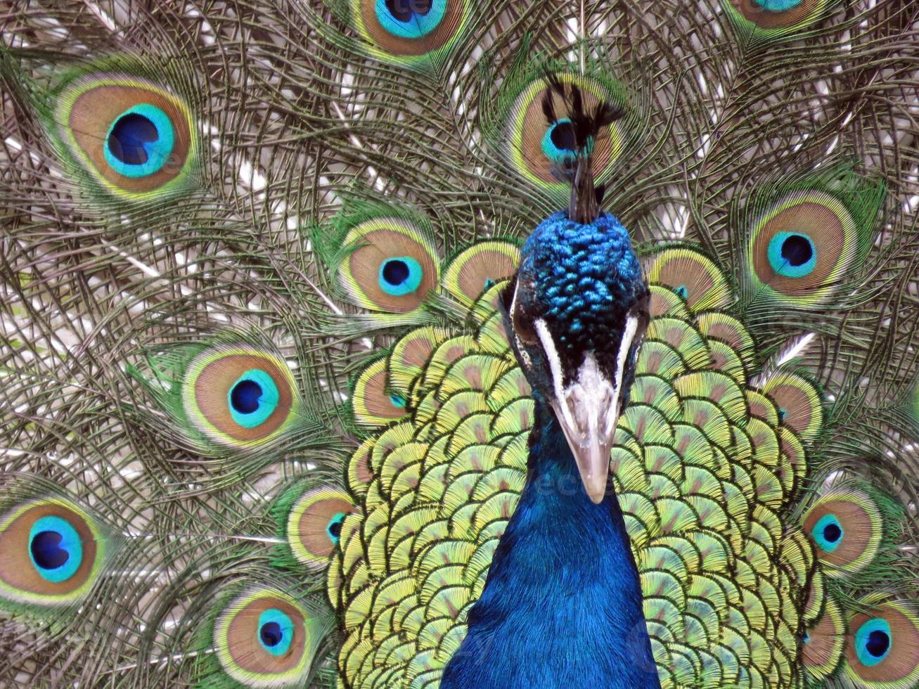 påfågel svans fjädrar foto
