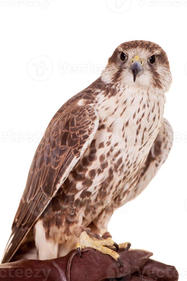 saker falcon isolerad på vit foto