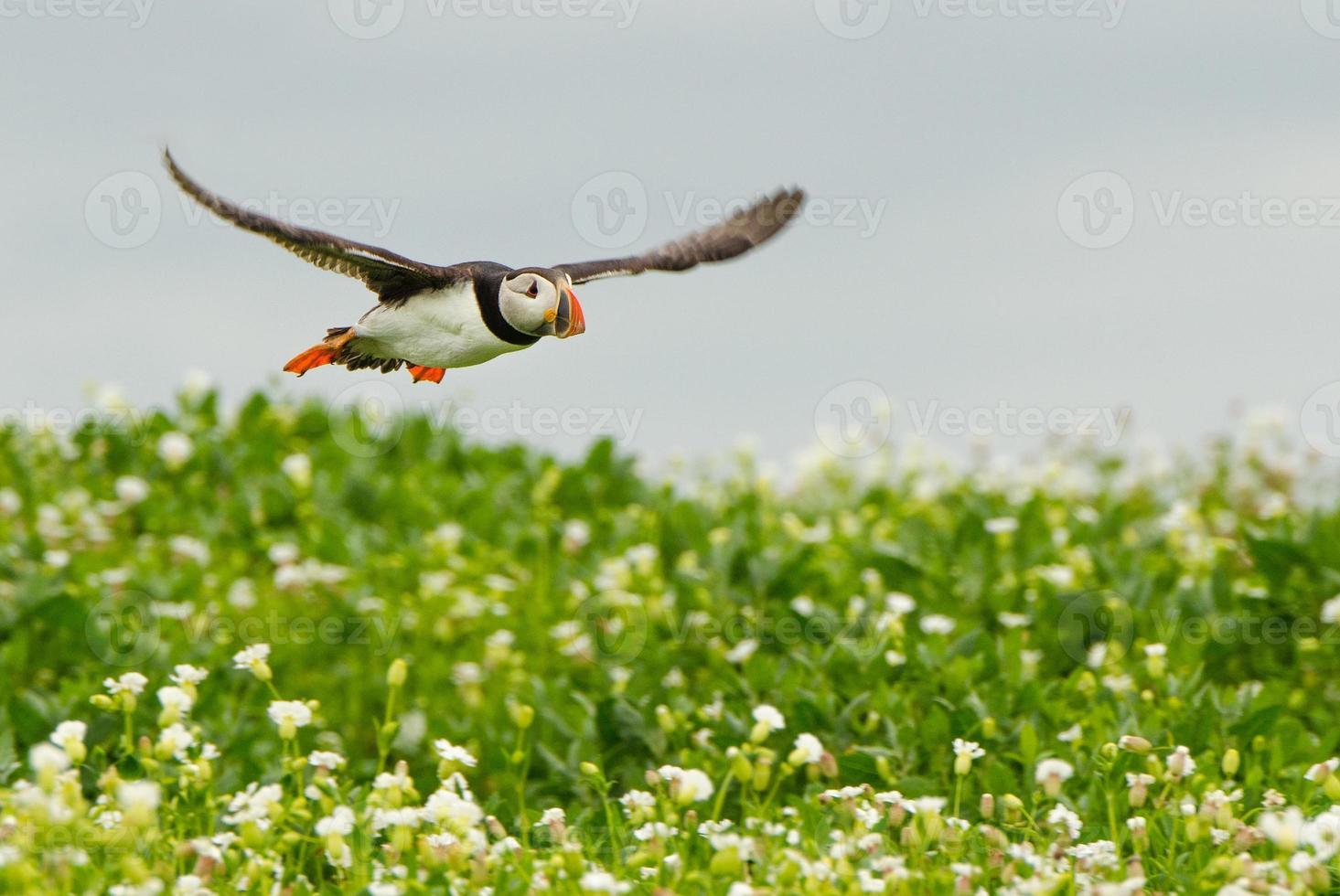 flygande lunnefågel foto