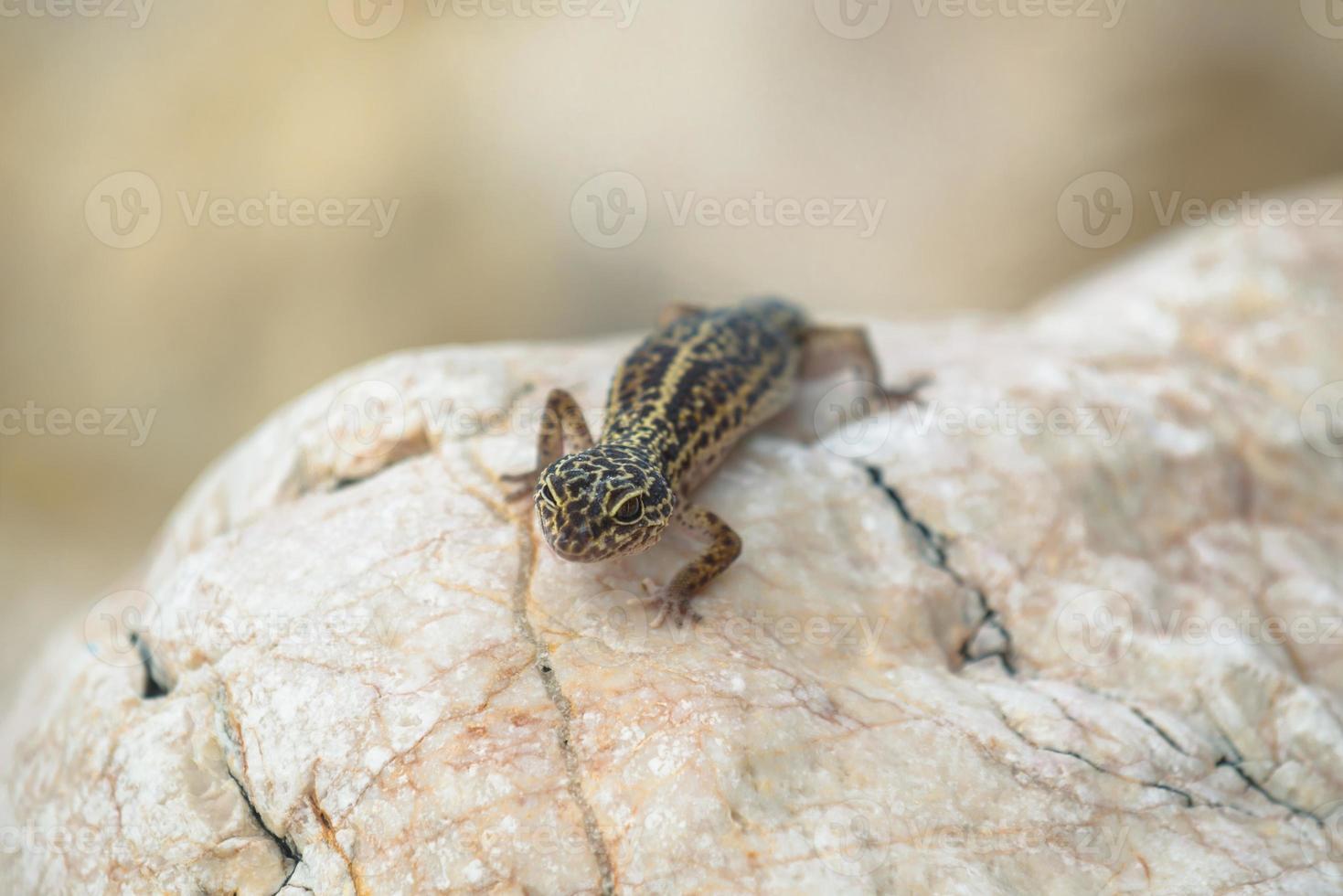 gekkoödla på stenar foto