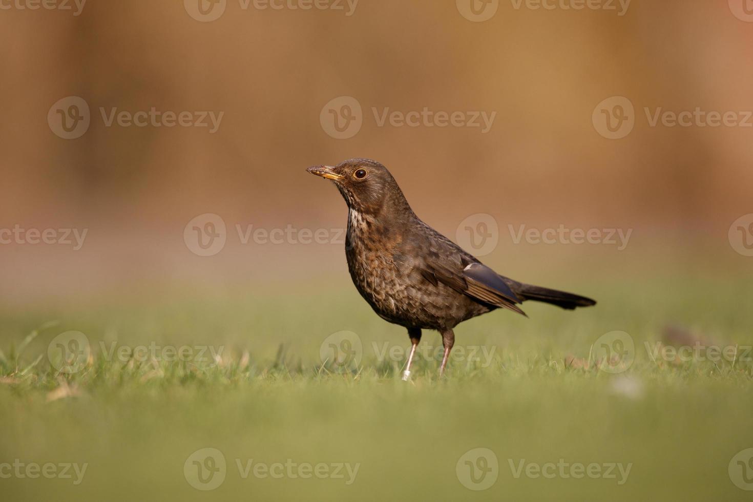blackbird, turdus merula foto