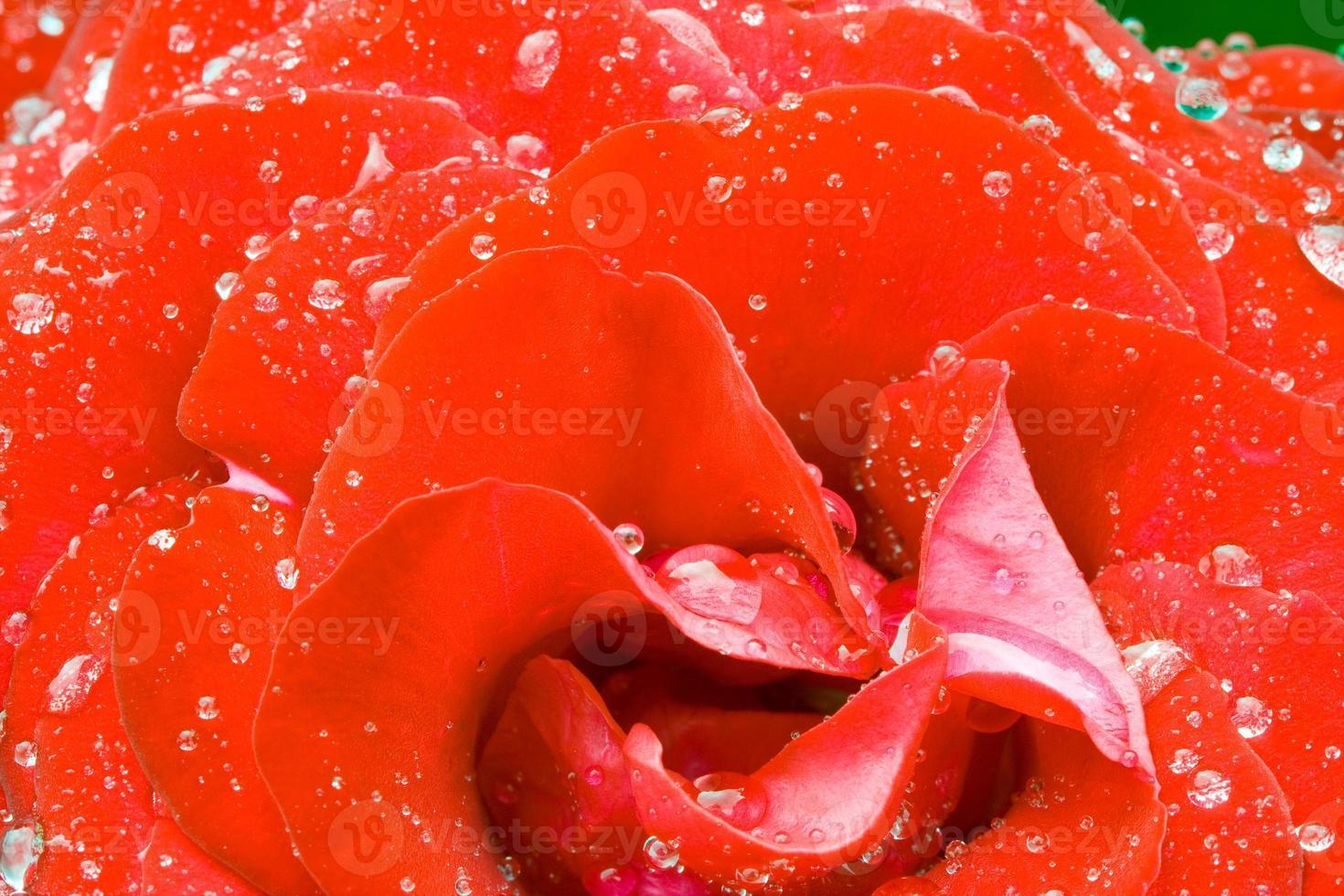 rosebush efter regn foto