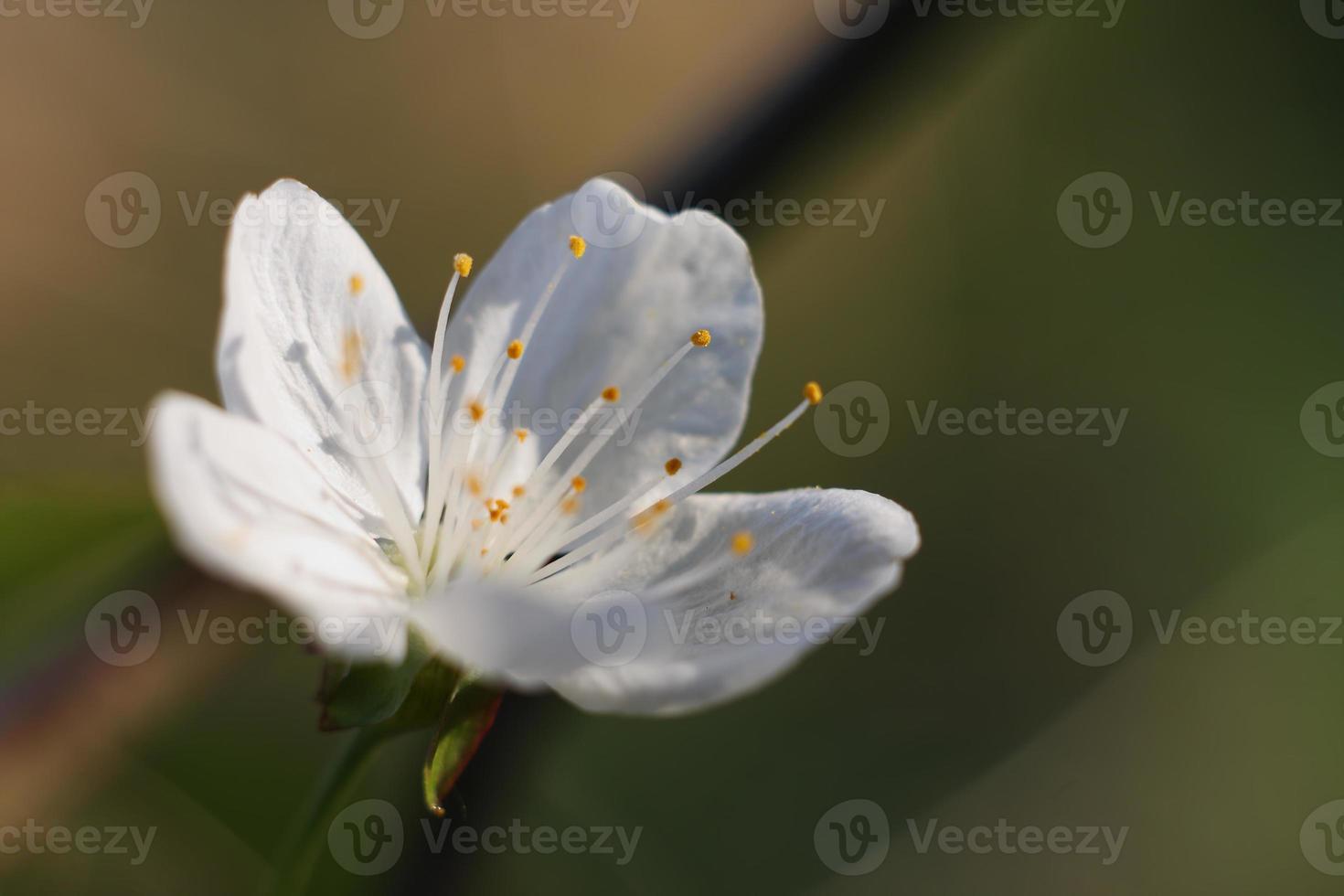 äppelträd blommor-våren träd blommor foto