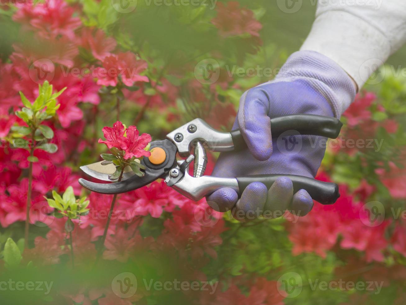 beskärning av blommor foto