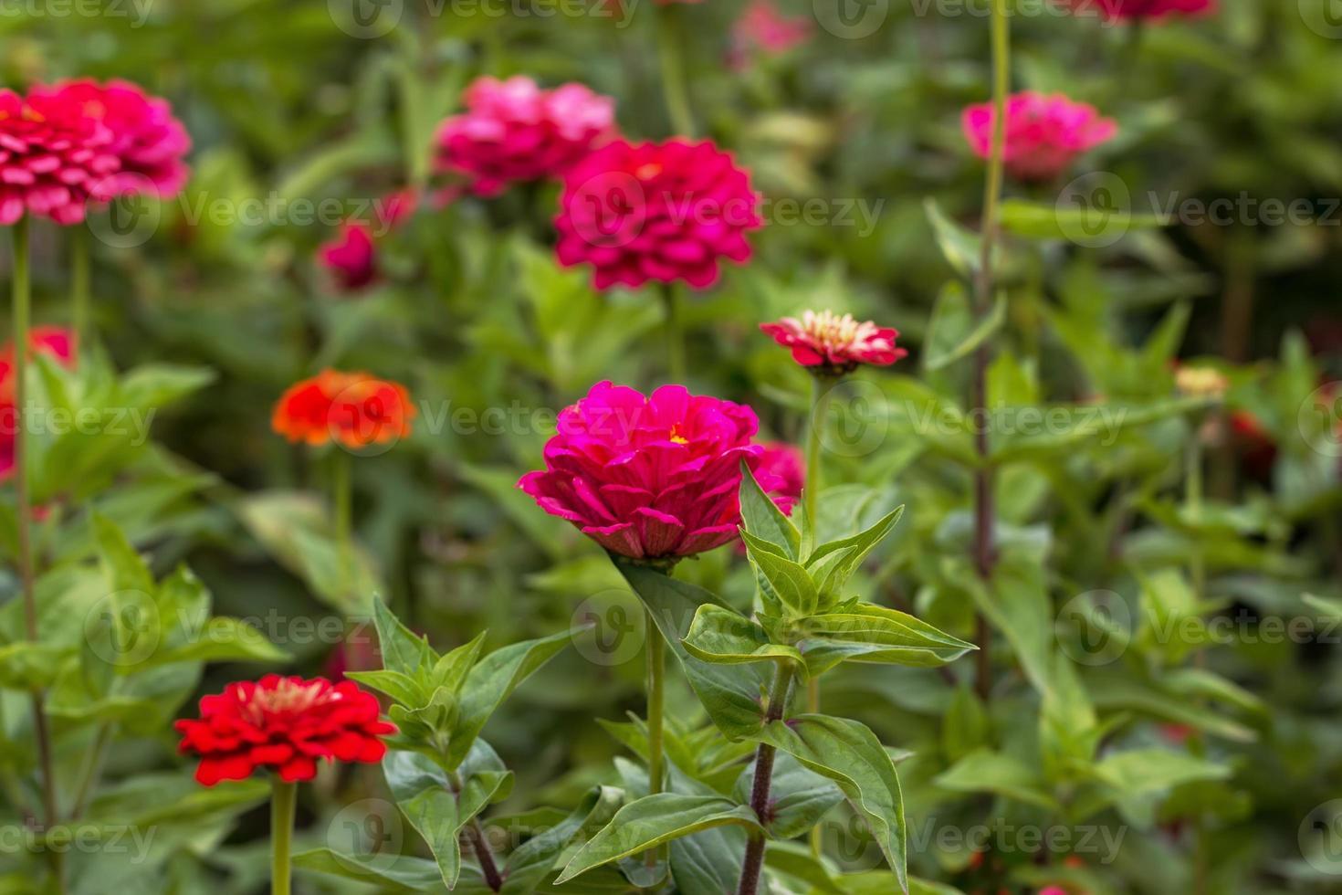 röda blommor foto