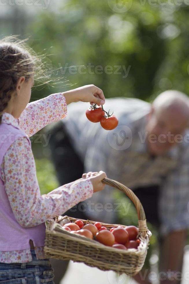 flicka bär korg med tomater, med farfar i grönsaker foto