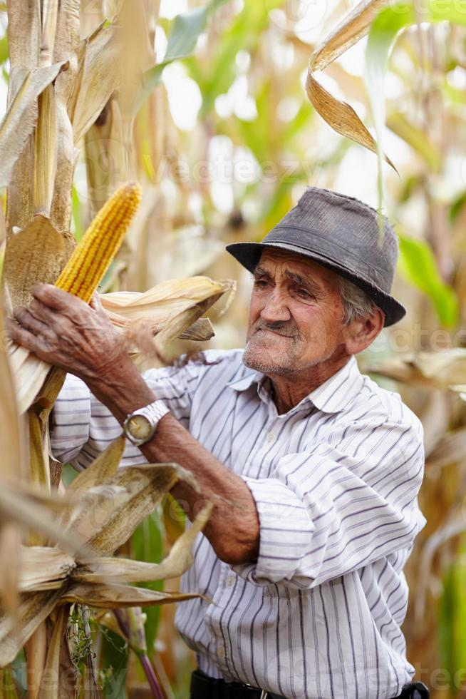 gammal man vid majsskörden foto