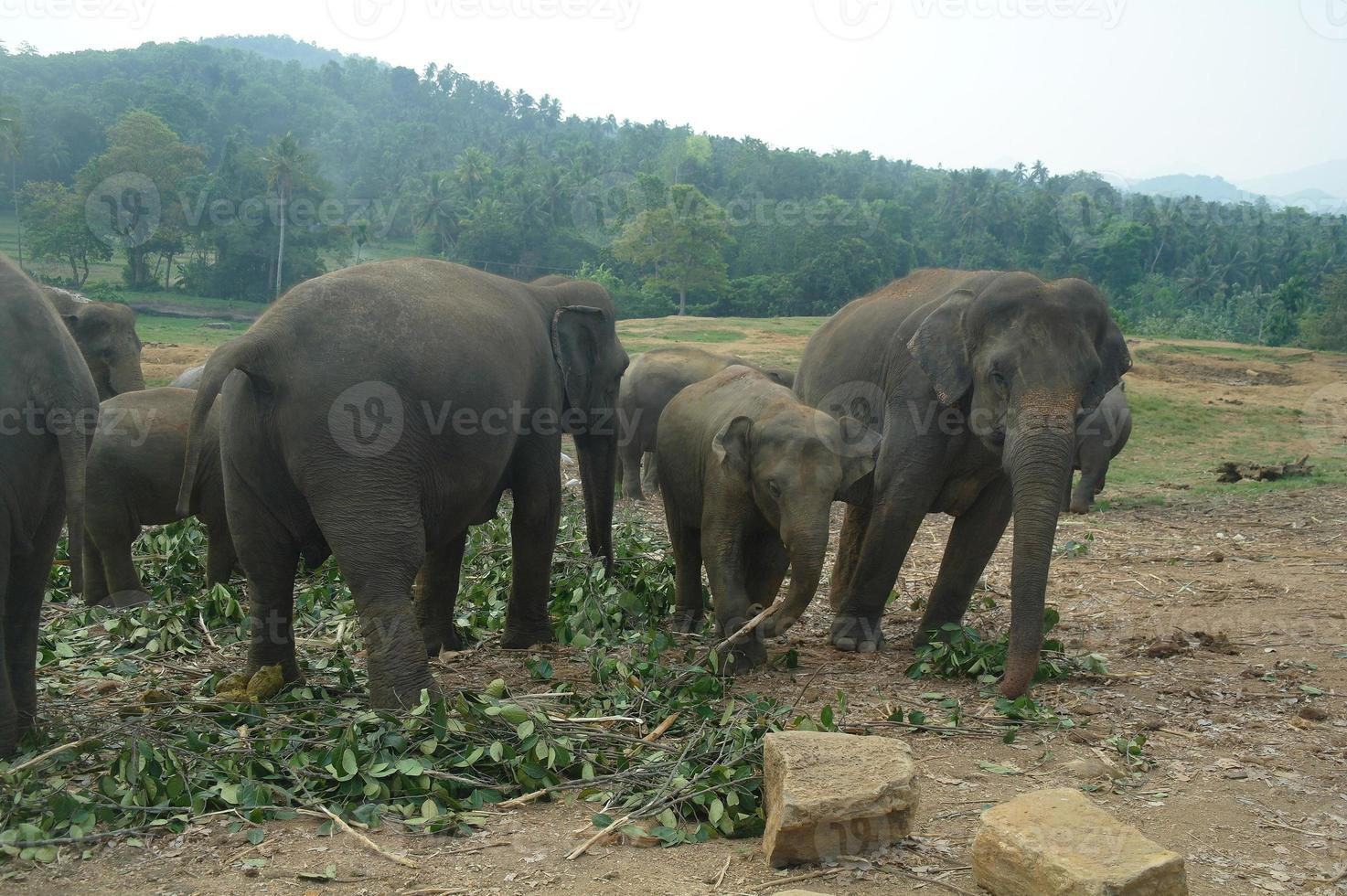 asiatiska elefanter, Sri Lanka foto