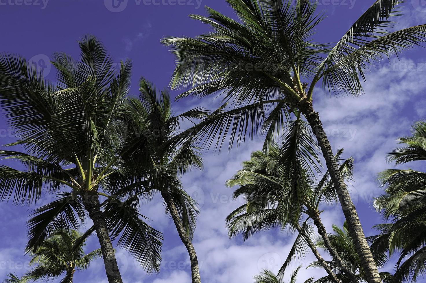 kailua-kona palmträd foto