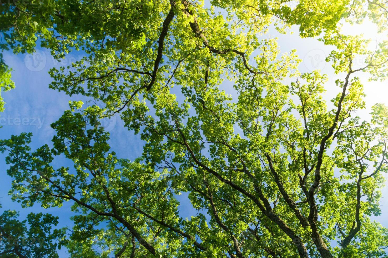 ek trädkrona underifrån mot blå himmel med solros foto