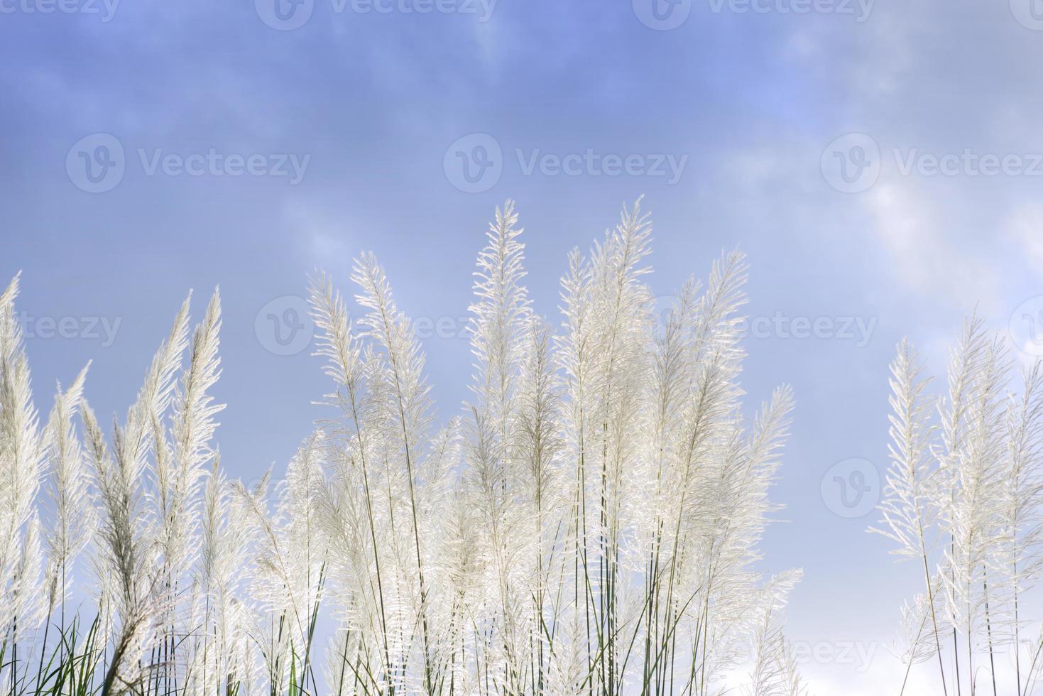 gräsblomma mot molnig himmel foto