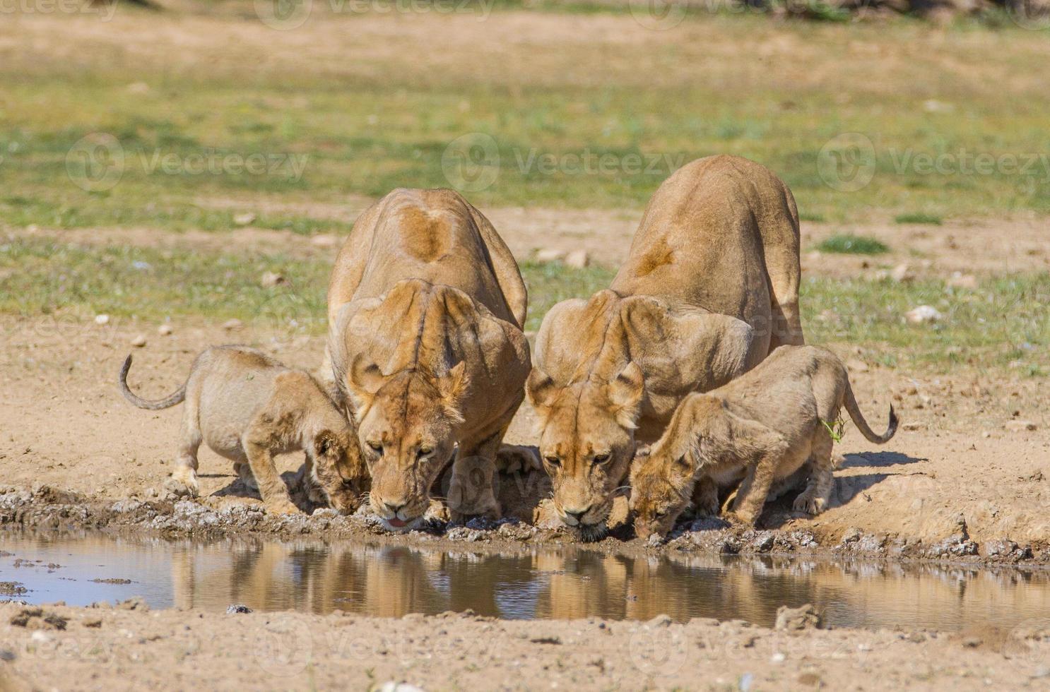 lejoninnor, ungar som dricker foto