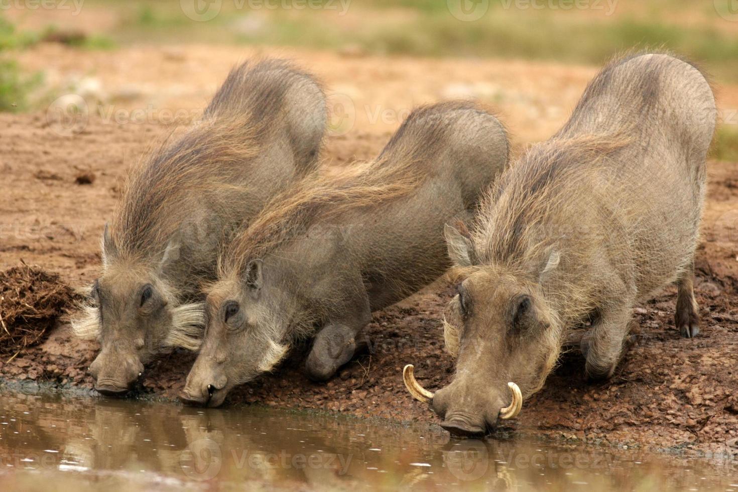 warthog och hennes smågrisar som dricker foto