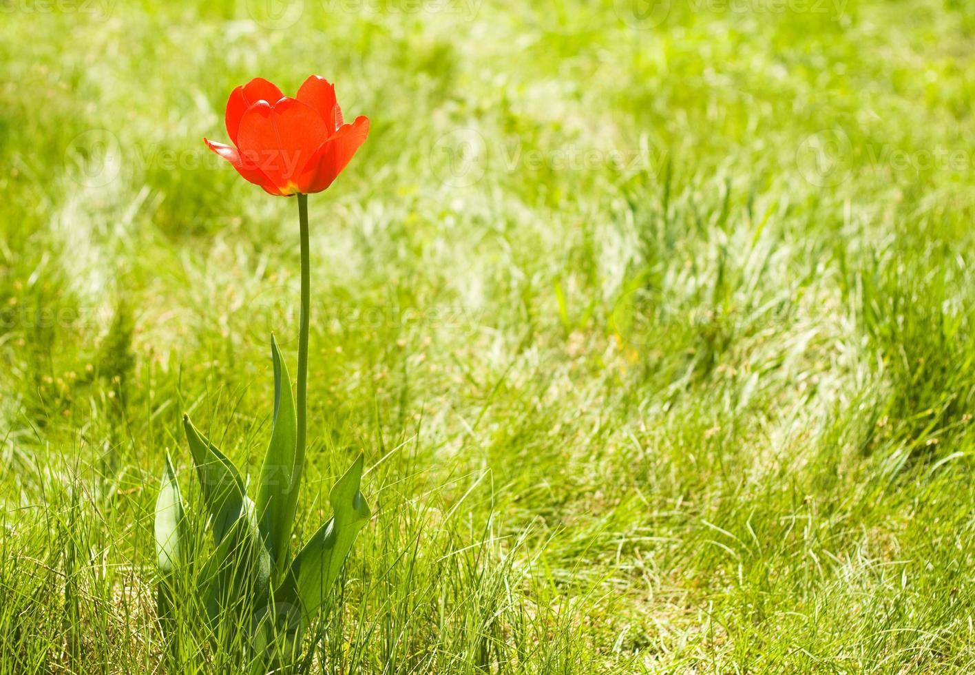 ensam blommatulpan utomhus. kopiera utrymme foto