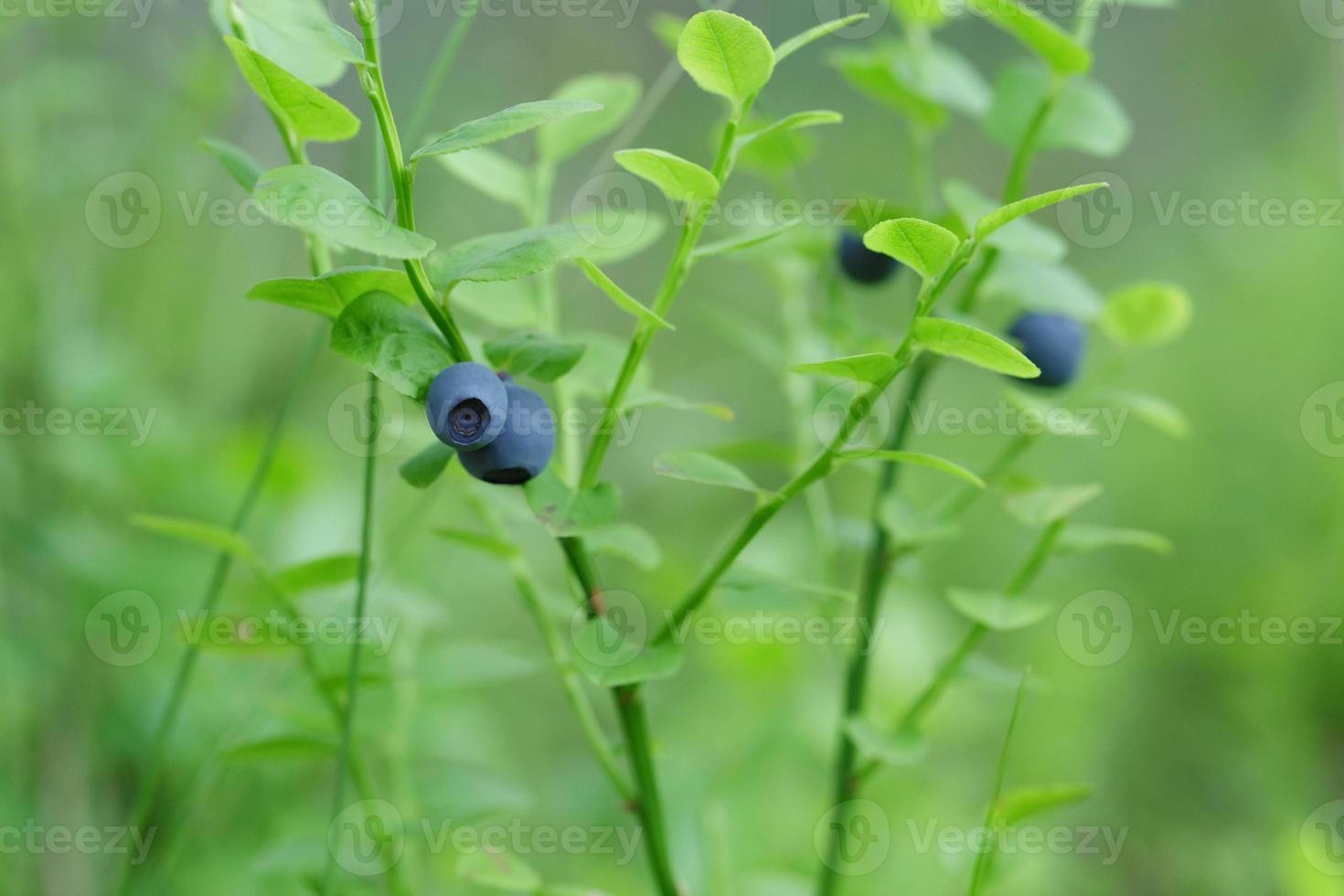skog blåbär närbild foto