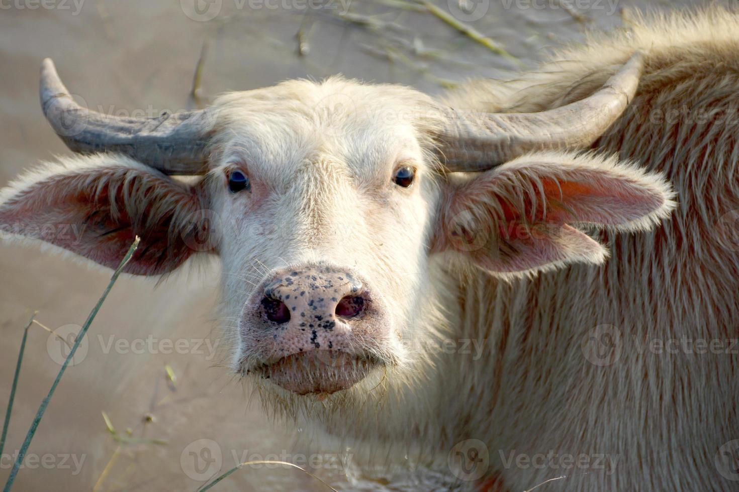 närbild vitbuffel foto
