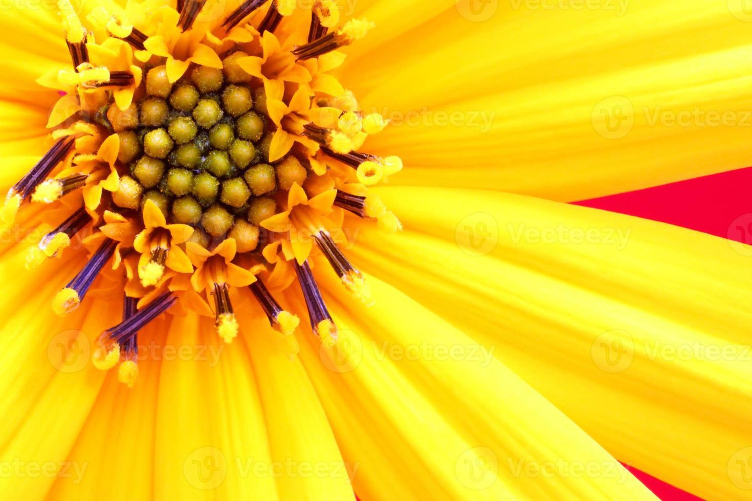 girasol blomma på nära håll foto