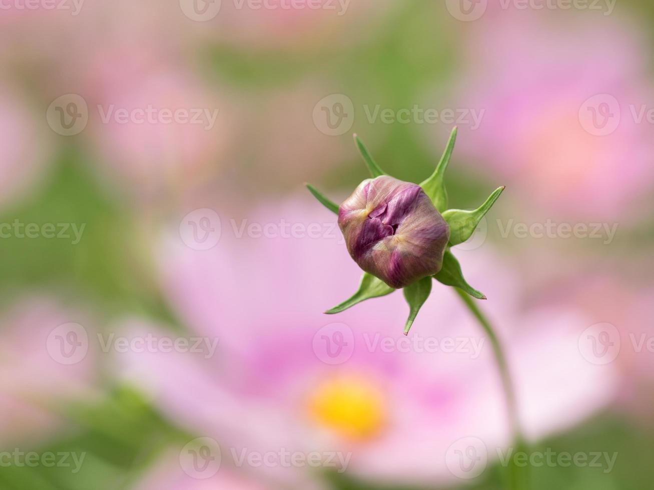 bud på kosmos i blommaträdgården foto