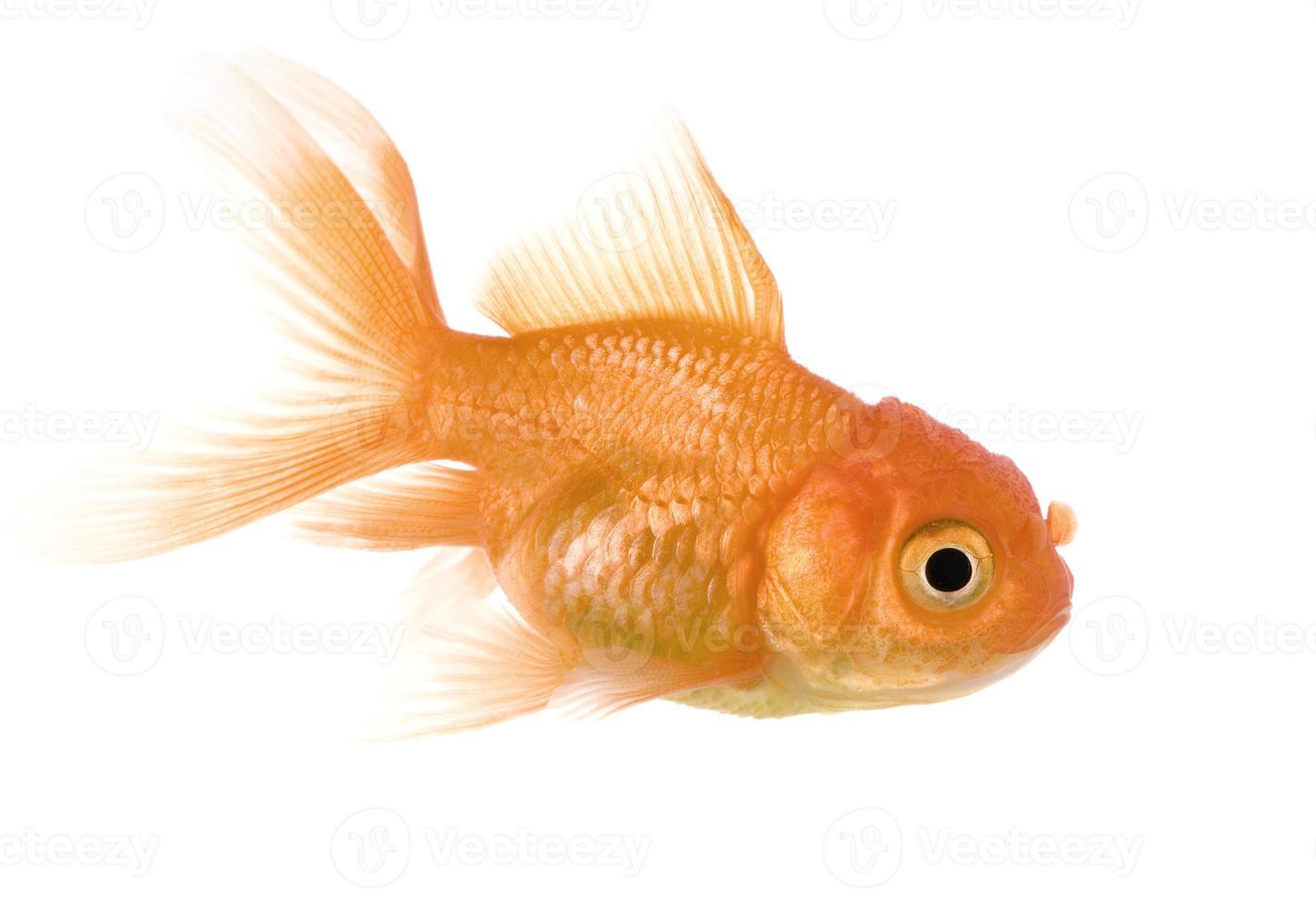 guldfisk foto