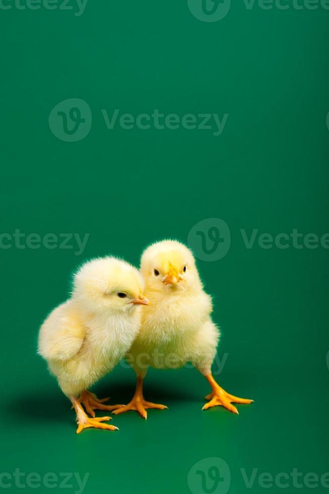 två små kycklingar på grön bakgrund foto