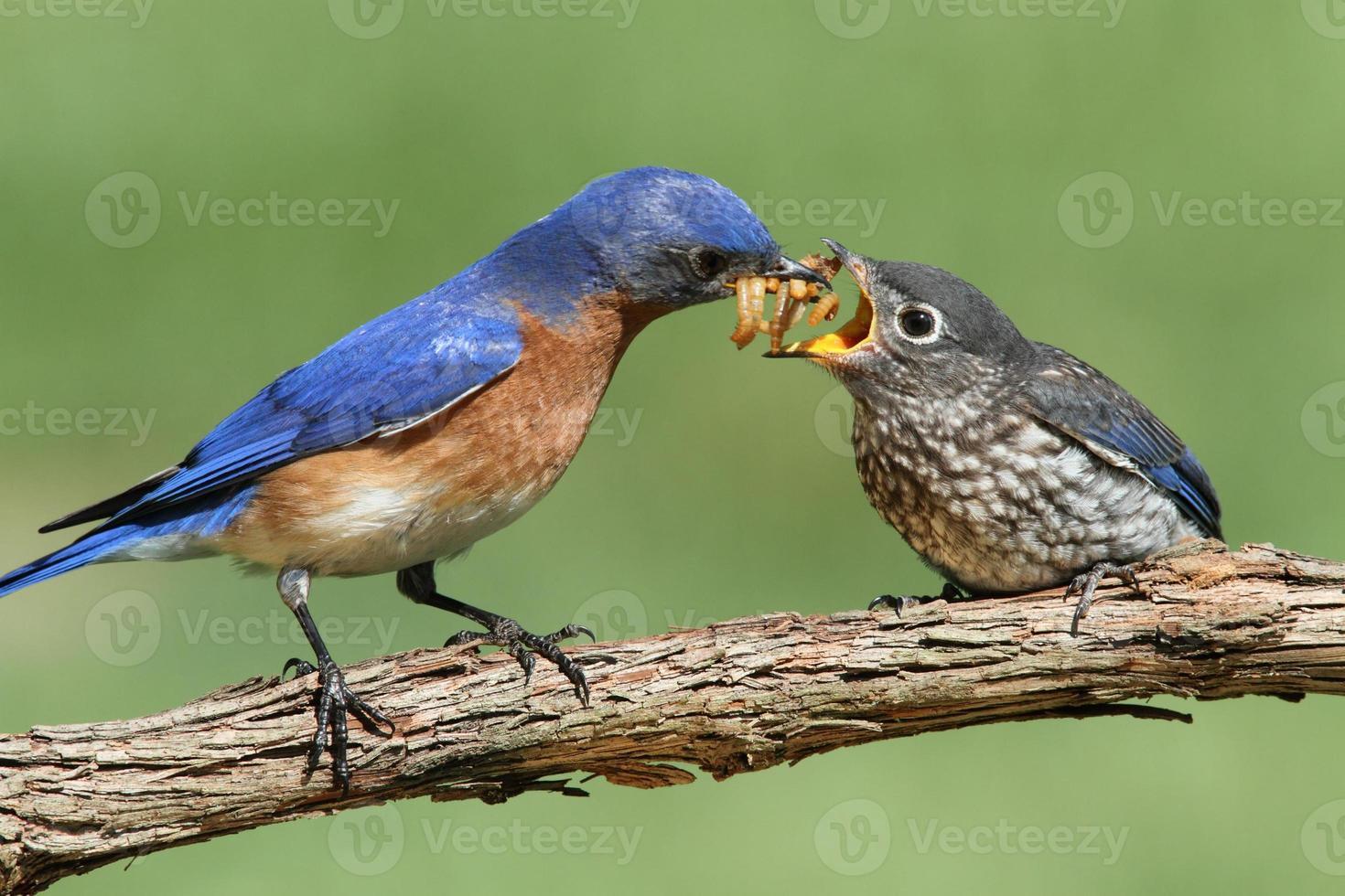 manlig östra blåfågel med baby foto