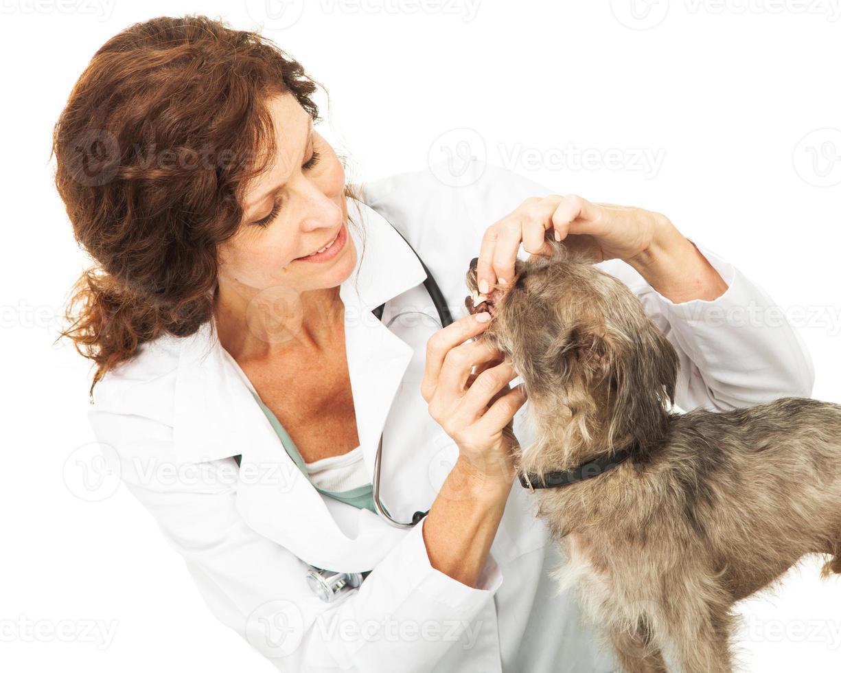 veterinär som undersöker tänderna på liten hund foto