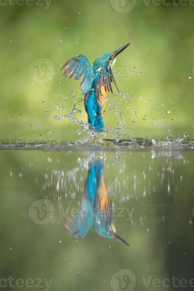 manlig kungsfiskare foto