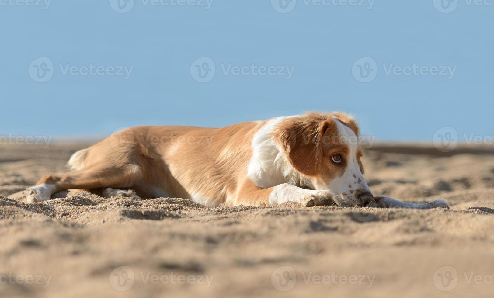 manlig bretonhund foto