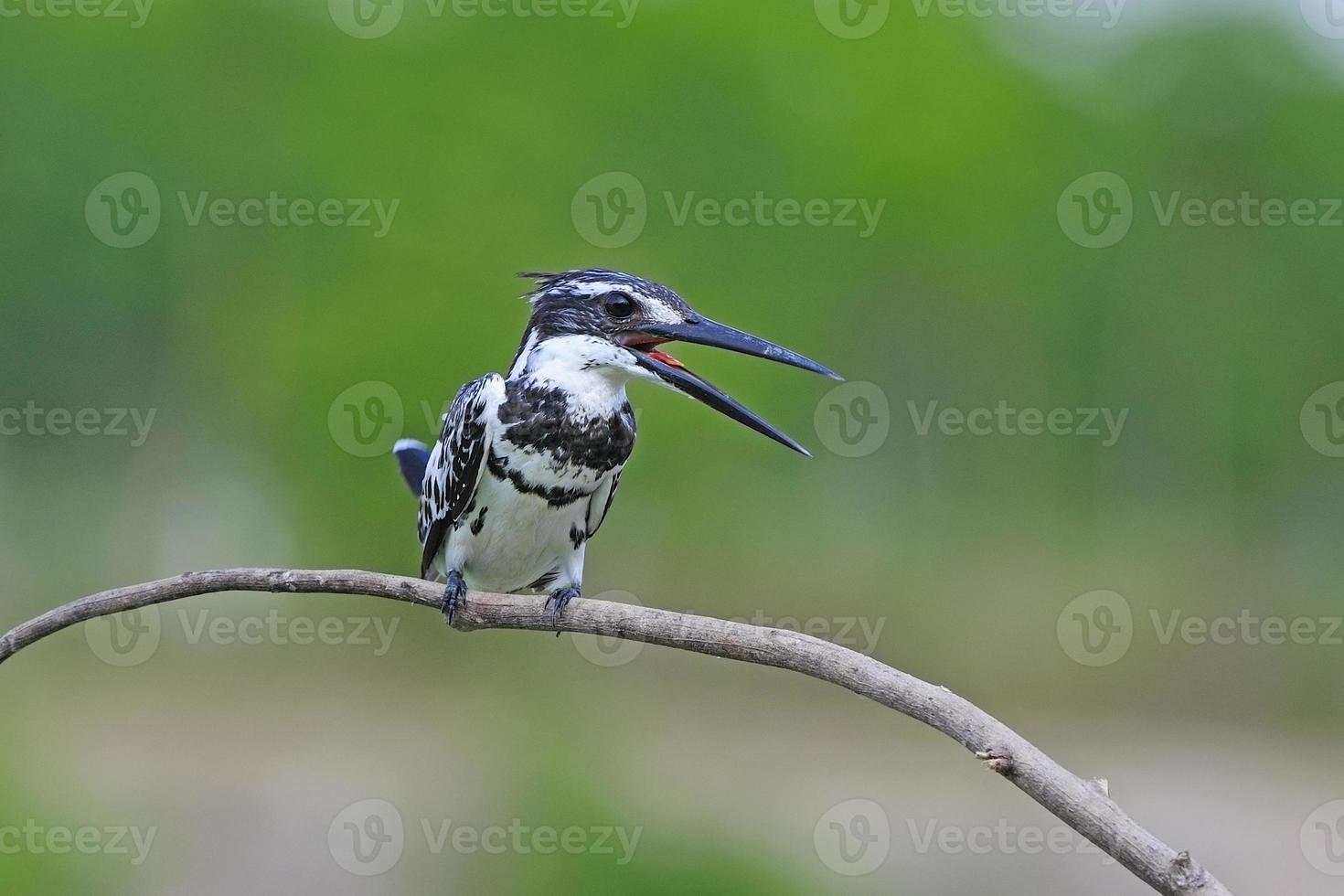manlig pied kingfisher foto