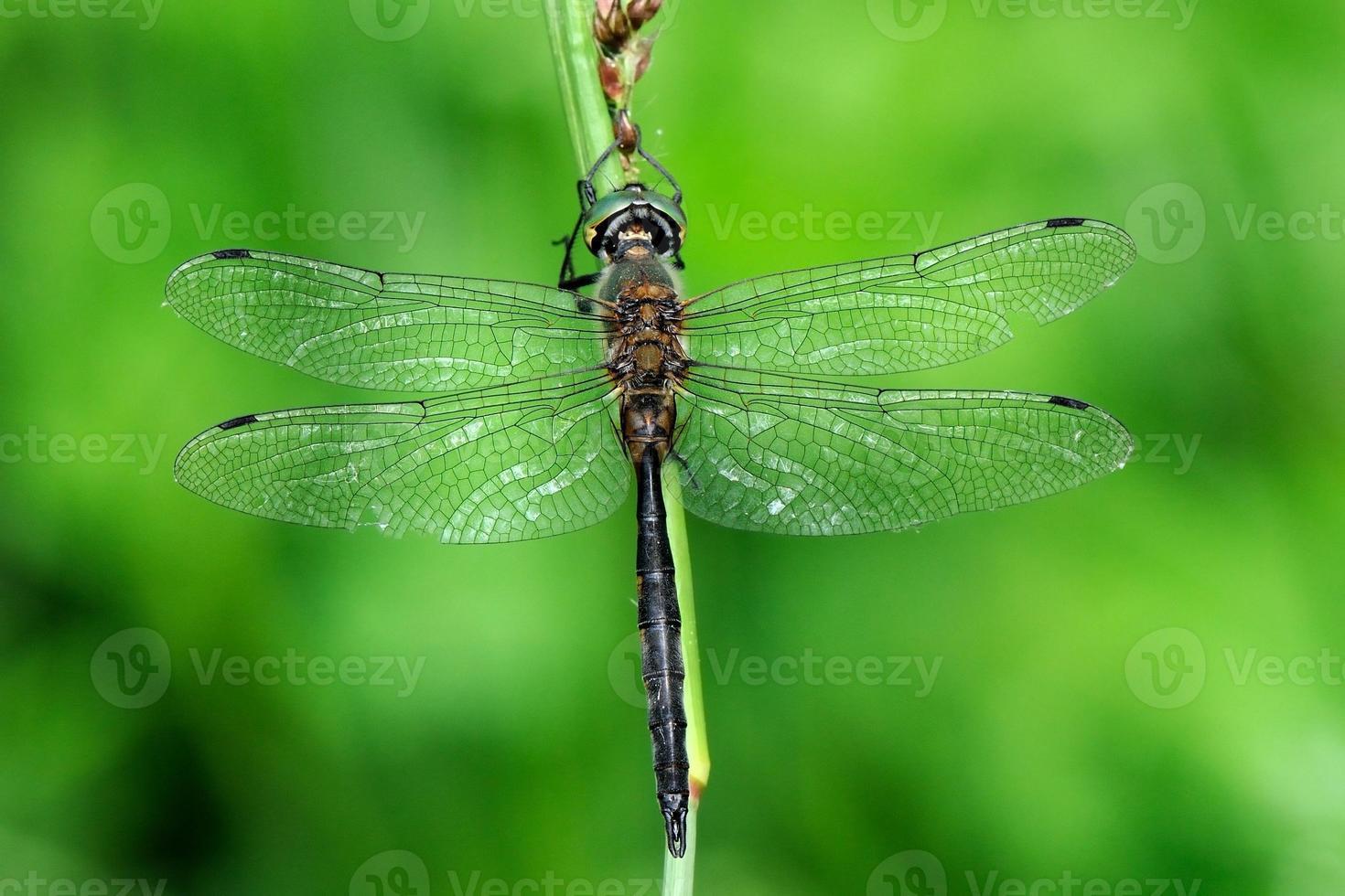 somathoclora flavomaculata, hane foto