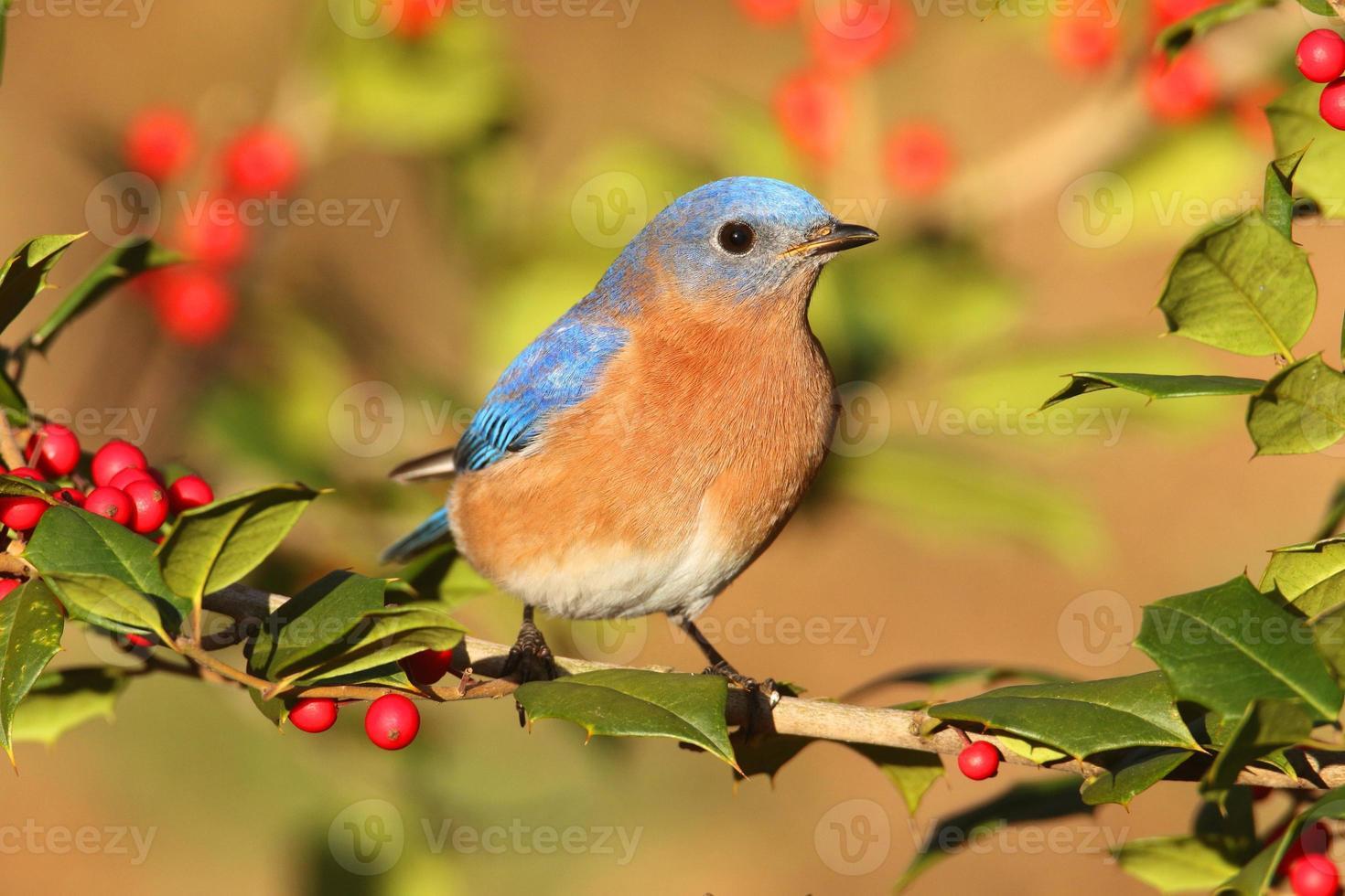 manlig östra blåfågel foto