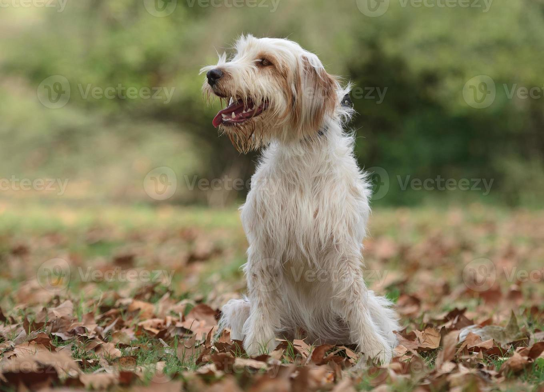 manlig katalansk herdehund foto