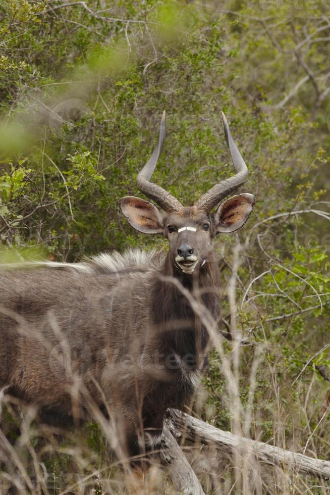 manlig nyala sydafrika foto