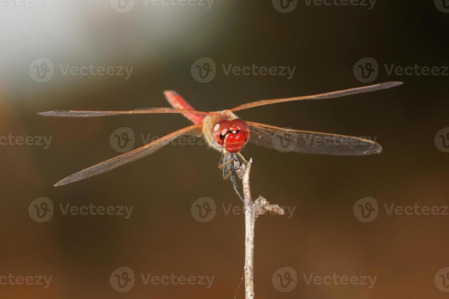 röd-venad darter - hane foto