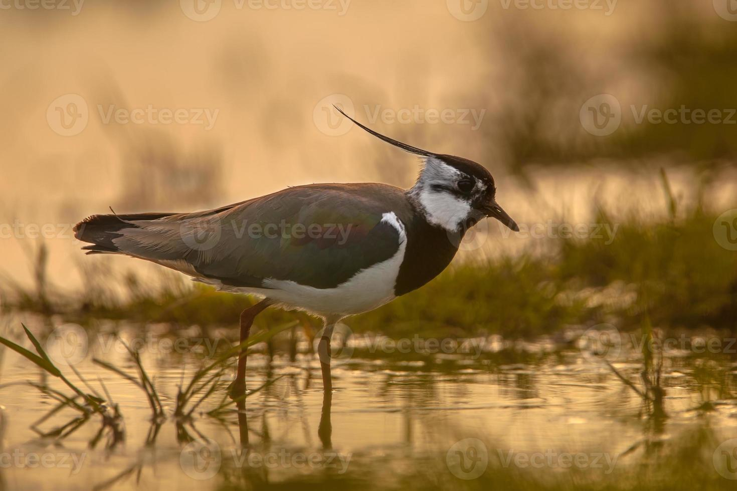 manlig norra lapwing sillhouette foto