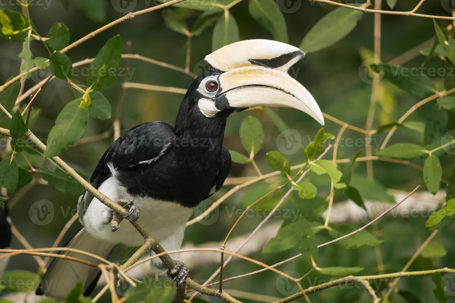 orientalisk pied hornbill (hane) foto