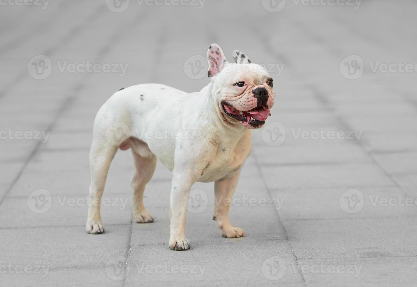 ung manlig fransk bulldogg foto