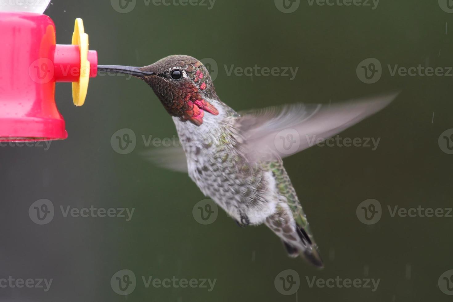 hane annas kolibri (calypte anna) foto