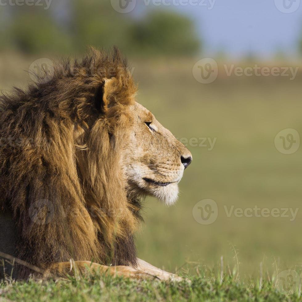 porträtt av en manlig lejon foto